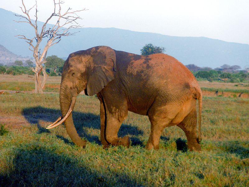 Bracconaggio, 30mila elefanti uccisi ogni anno per l'avorio