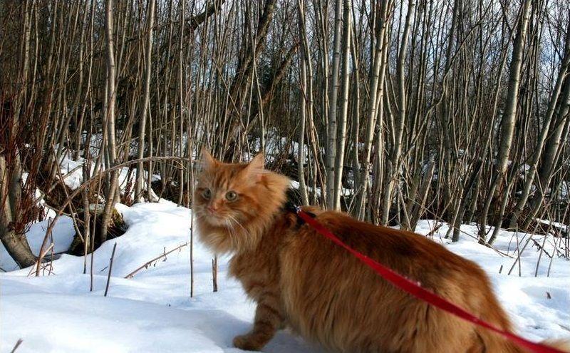Jesper il 'gatto delle nevi' idolo in Norvegia