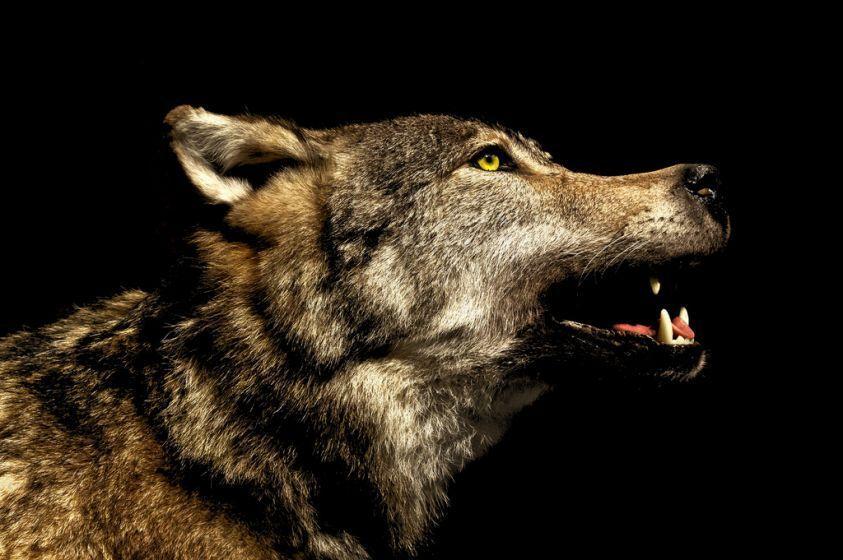 Caccia, lupi ed altre specie a rischio in Italia per le paure dell'uomo