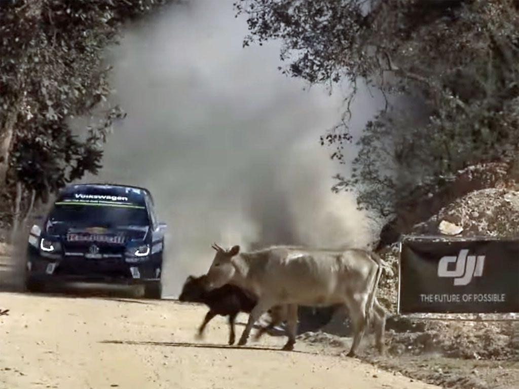 Rally incidenti: uno scampato pericolo bovino per Ogier [VIDEO]