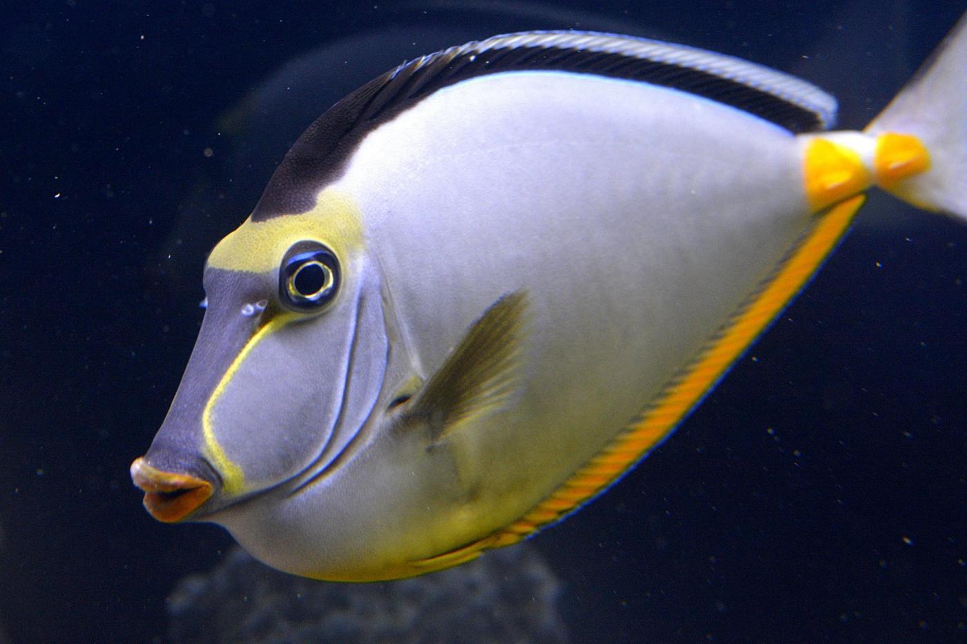 Pesce bianco a strisce gialle e blu