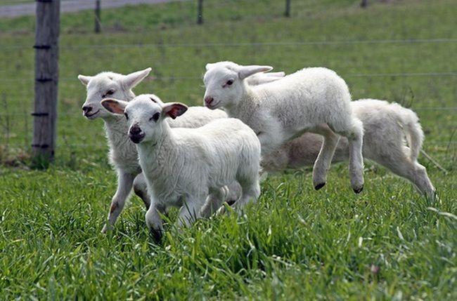 agnelli che saltano