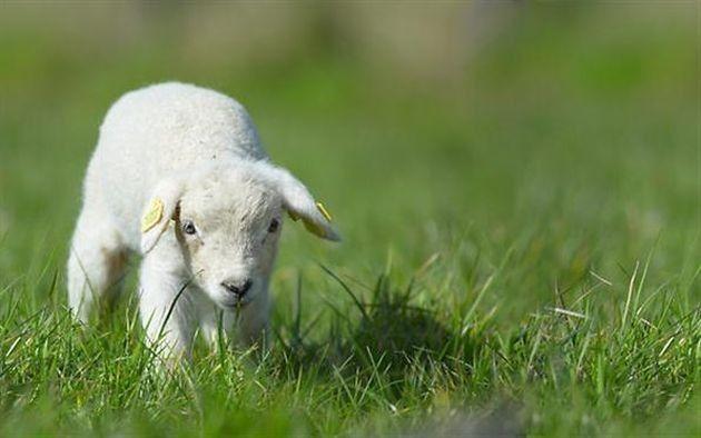 agnello nell erba
