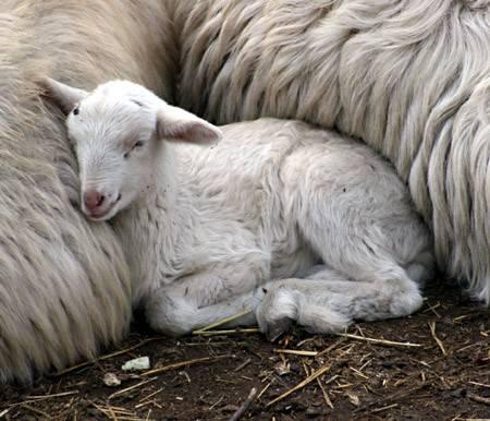 cucciolo agnello