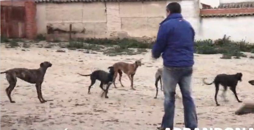 Levrieri in Spagna, maltrattati e abbandonati dai cacciatori: la denuncia degli animalisti