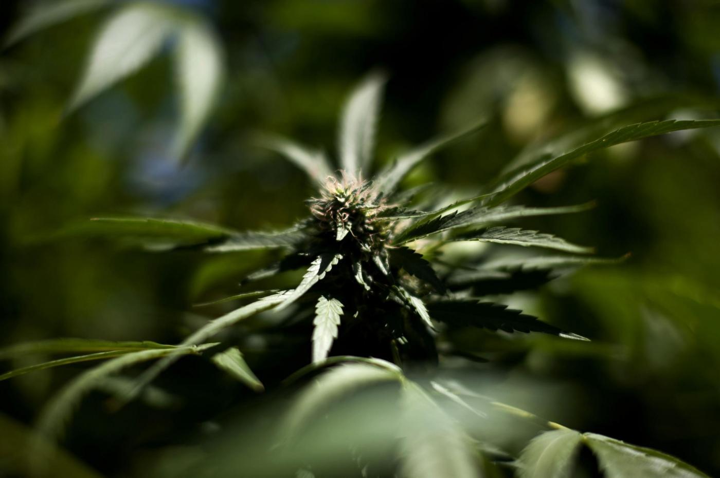 Reggio Emilia, rubavano energia all'Enel per coltivare marijuana