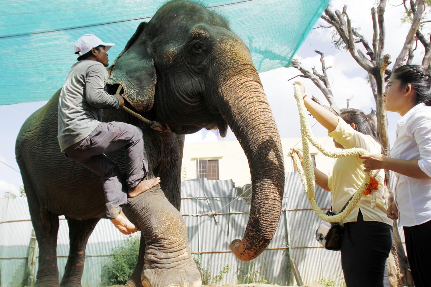 E' morta Sambo, l'elefante usato per far divertire i turisti in Cambogia