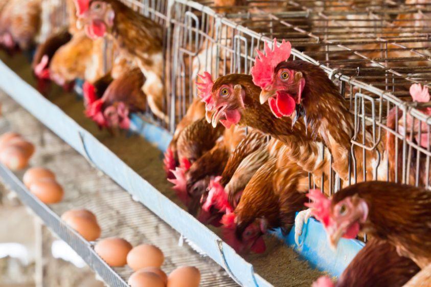 Allevamenti intensivi: tutti i casi più clamorosi denunciati dagli animalisti