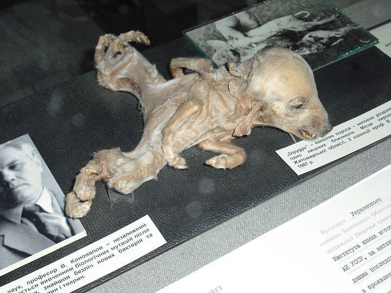 animale malformato chernobyl