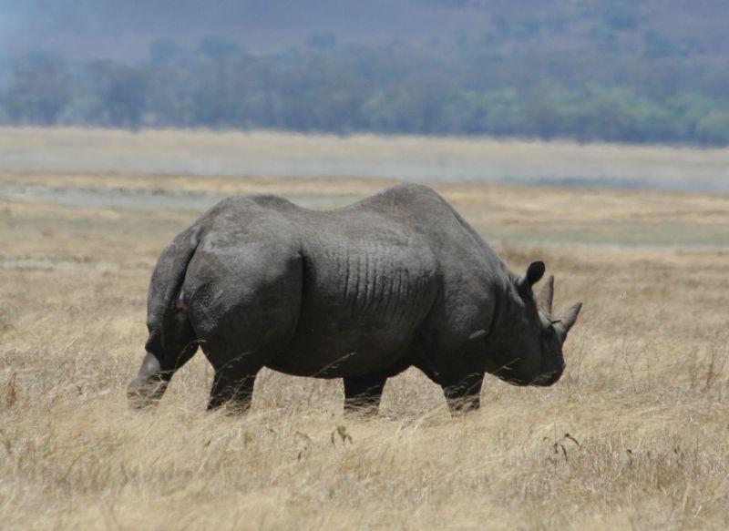 Caccia all'avorio, elefanti e rinoceronti tornano a ripopolare l'Africa