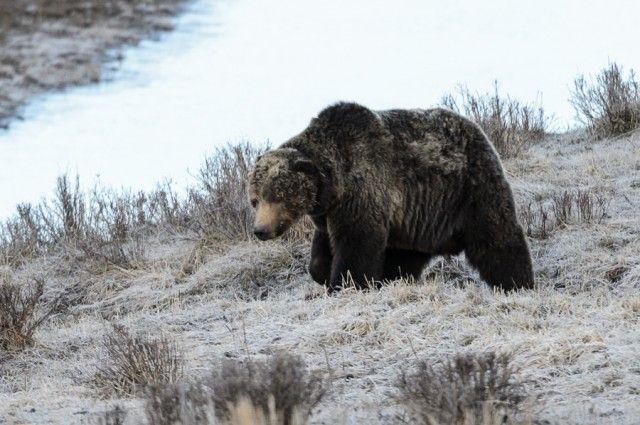 Ucciso orso Scarface a Yellowstone: caccia al colpevole