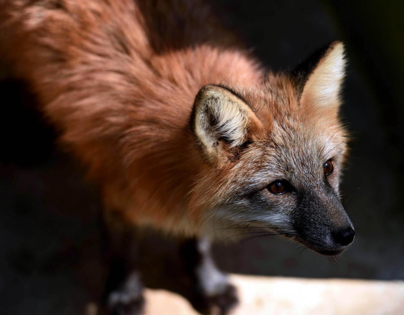 Treviso, troppe volpi e la procura vuole ucciderle