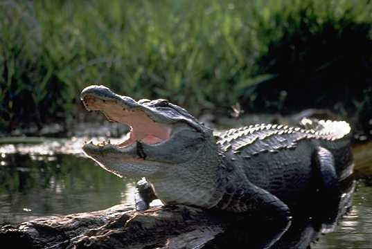 Florida, bambino trascinato in acqua da un alligatore: il corpo trovato dopo 17 ore