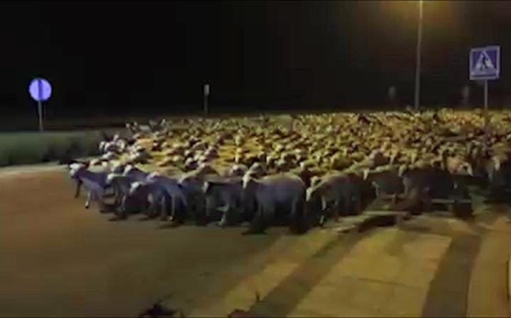 Invasione di pecore in città: migliaia di capi sfuggiti al pastore addormentato