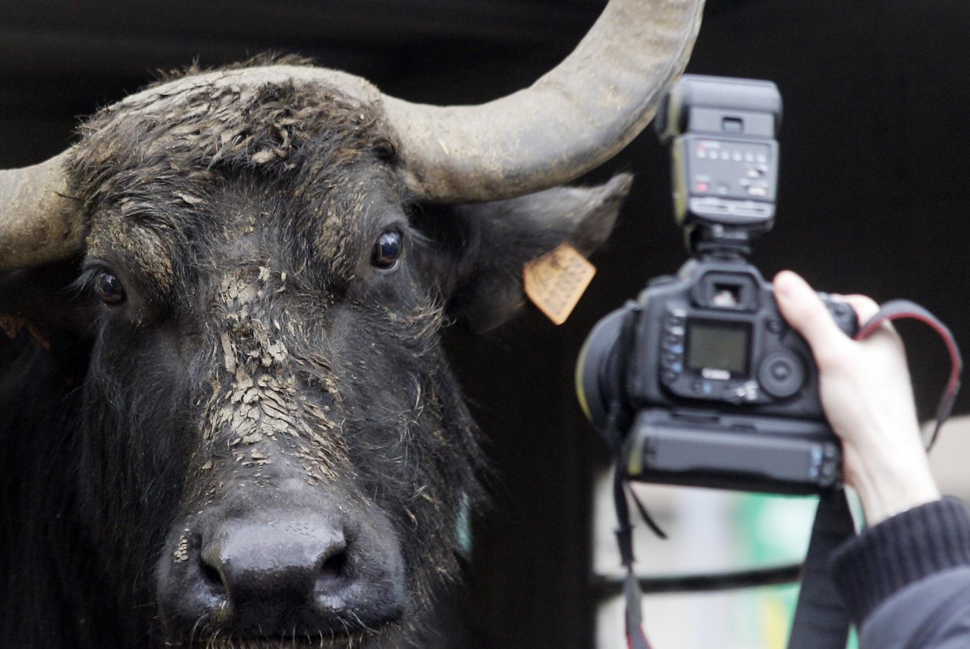 perché si dice bufala