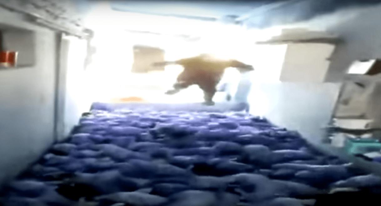 Spagna, ragazzi uccidono 72 maiali per divertimento