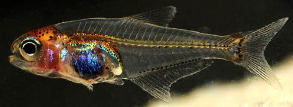 Cyanogaster