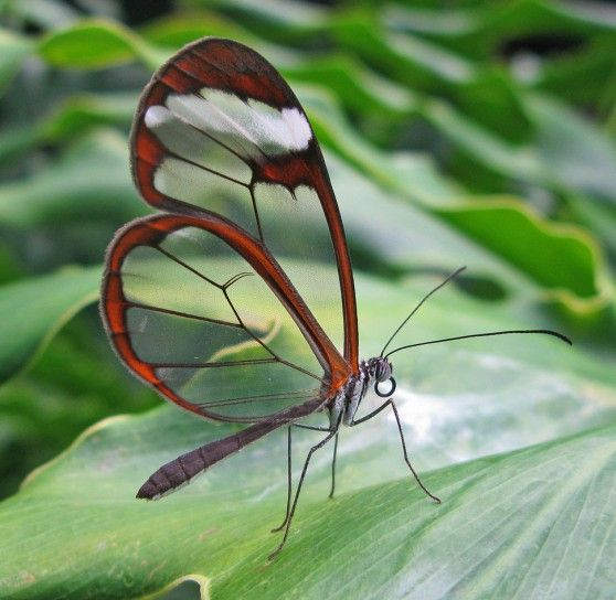 farfalla dalle ali di vetro