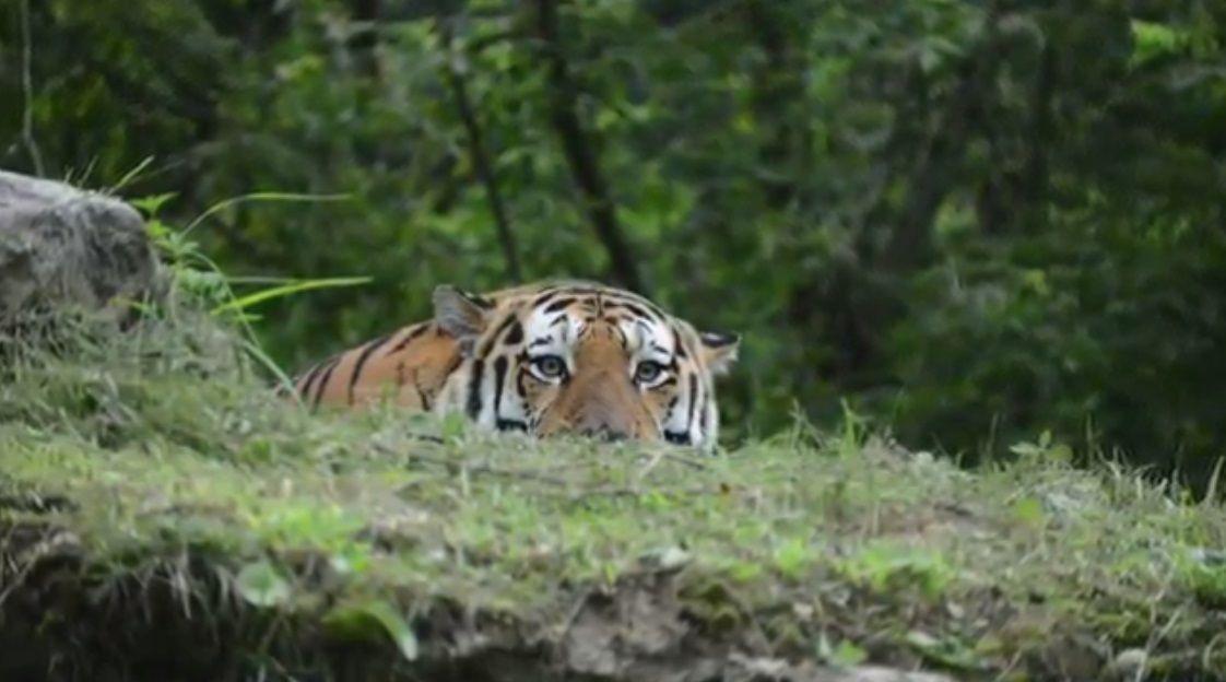 Giornata mondiale della tigre: appello per salvare il felino dall'estinzione