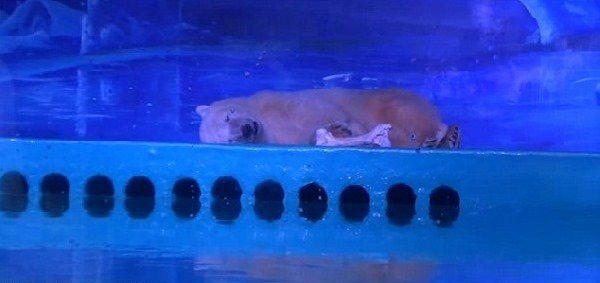 Orso polare in Cina soffre nello zoo più triste del mondo: petizione per liberarlo