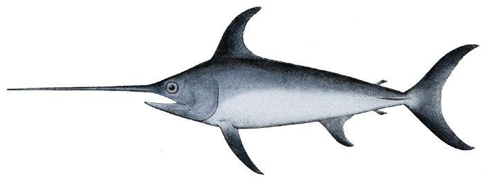 Allarme pesce spada nel Mediterraneo: ne rimane solo il 30 per cento