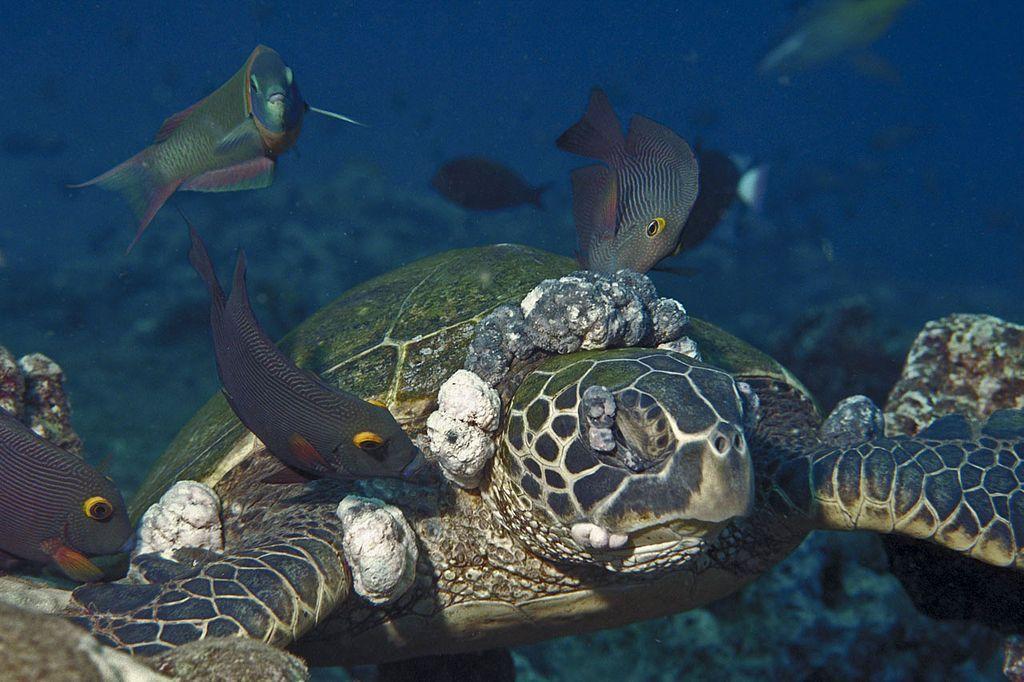 Tartarughe marine della barriera corallina malate di tumore: colpa dell'inquinamento?