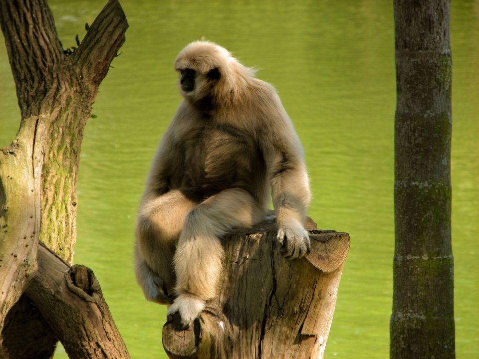 gibbone di hainan