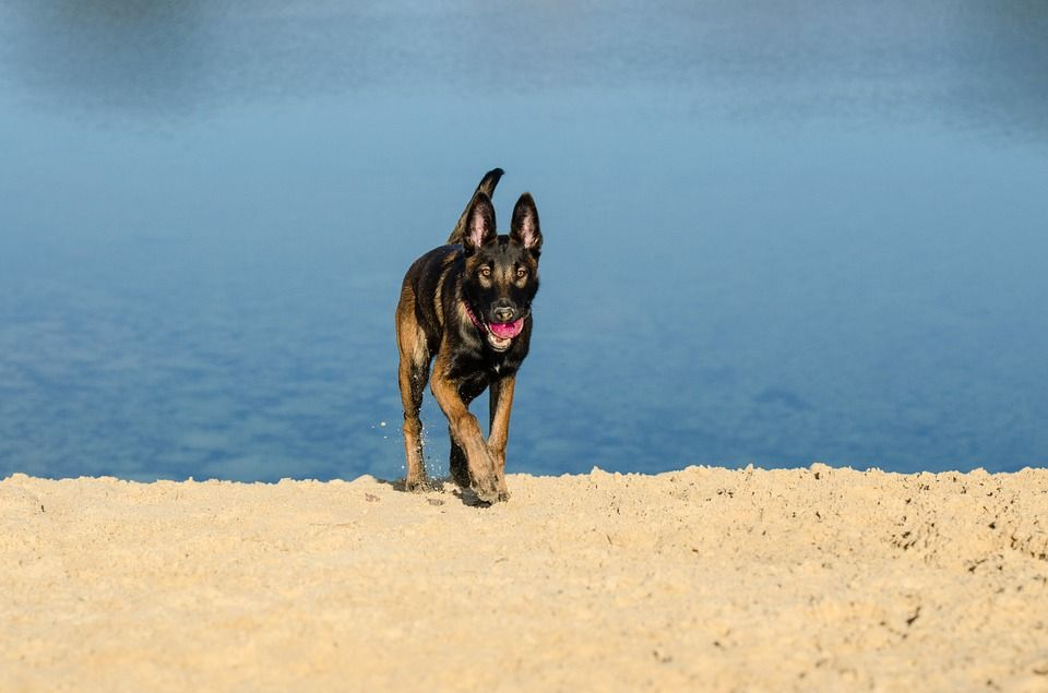 Usa, cane nuota oltre 6 miglia per ritrovare i padroni: era caduto dalla barca