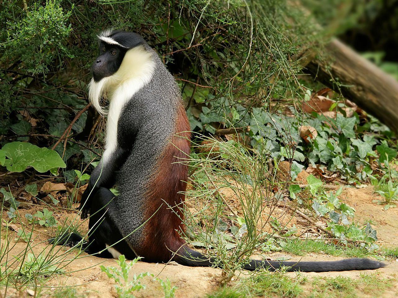 scimmia di roloway