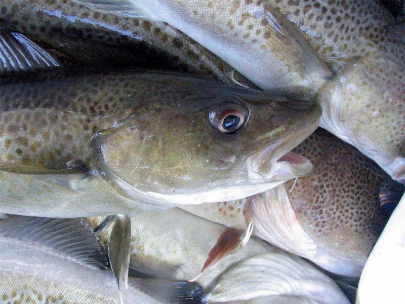 Lingua dei pesci: una ricerca rivela che i merluzzi parlano diversi dialetti