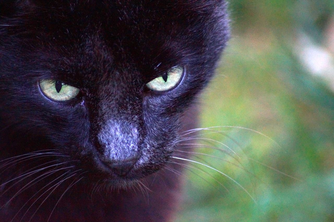 Gatti neri: curiosità e leggende sull'animale venerato dagli Egizi