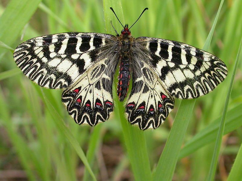 Farfalle rischio di estinzione: in Puglia nasce l'oasi Farfalia