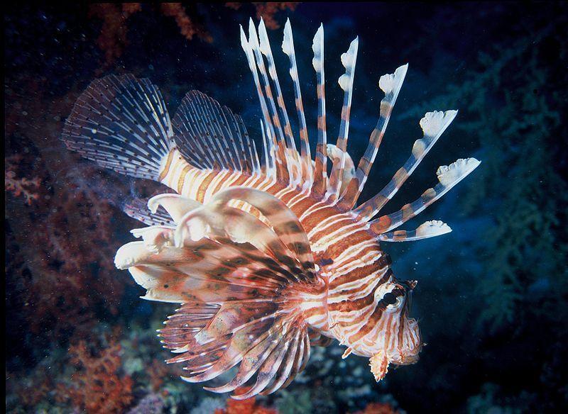 Pesce scorpione in Italia, una specie velenosa che spaventa i natanti