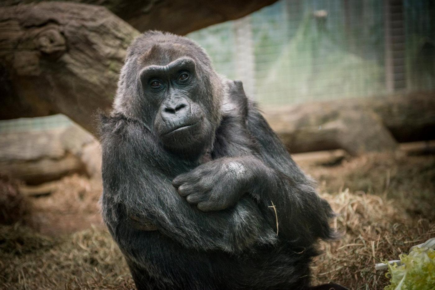 Colo, gorilla morto all'età di 60 anni, celebrato come una star sul web