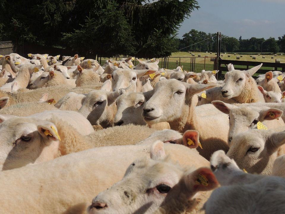 antibiotici allevamenti animali