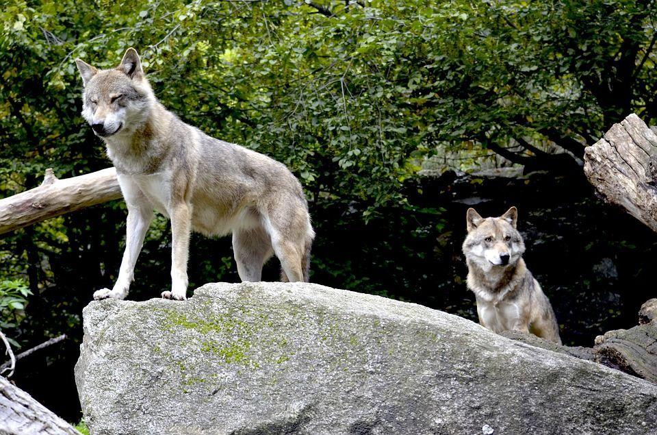 Caccia al lupo: 'Io cacciatore vi spiego perché sparare ai lupi non è la soluzione' [INTERVISTA]