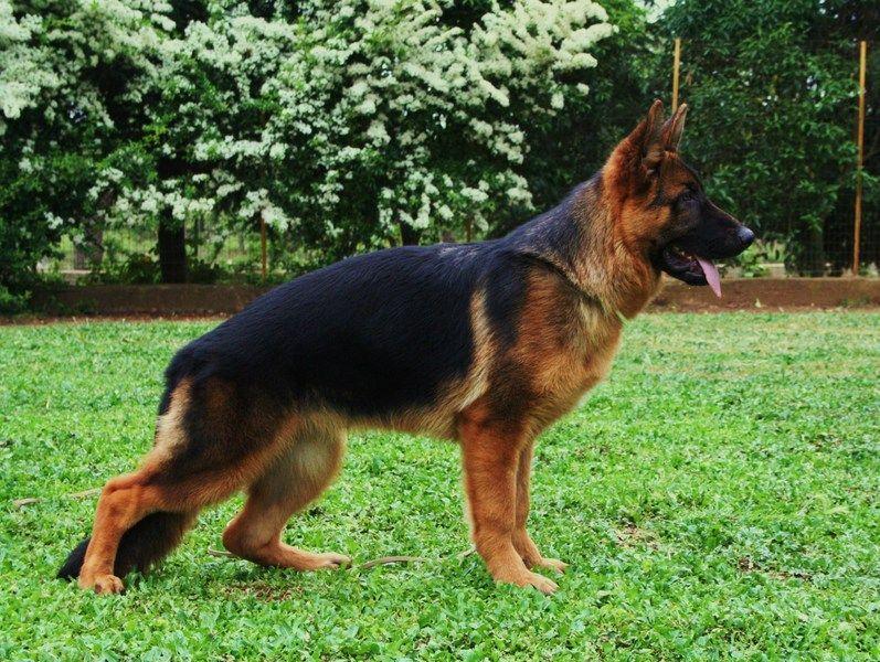 cani da guardia taglia piccola media