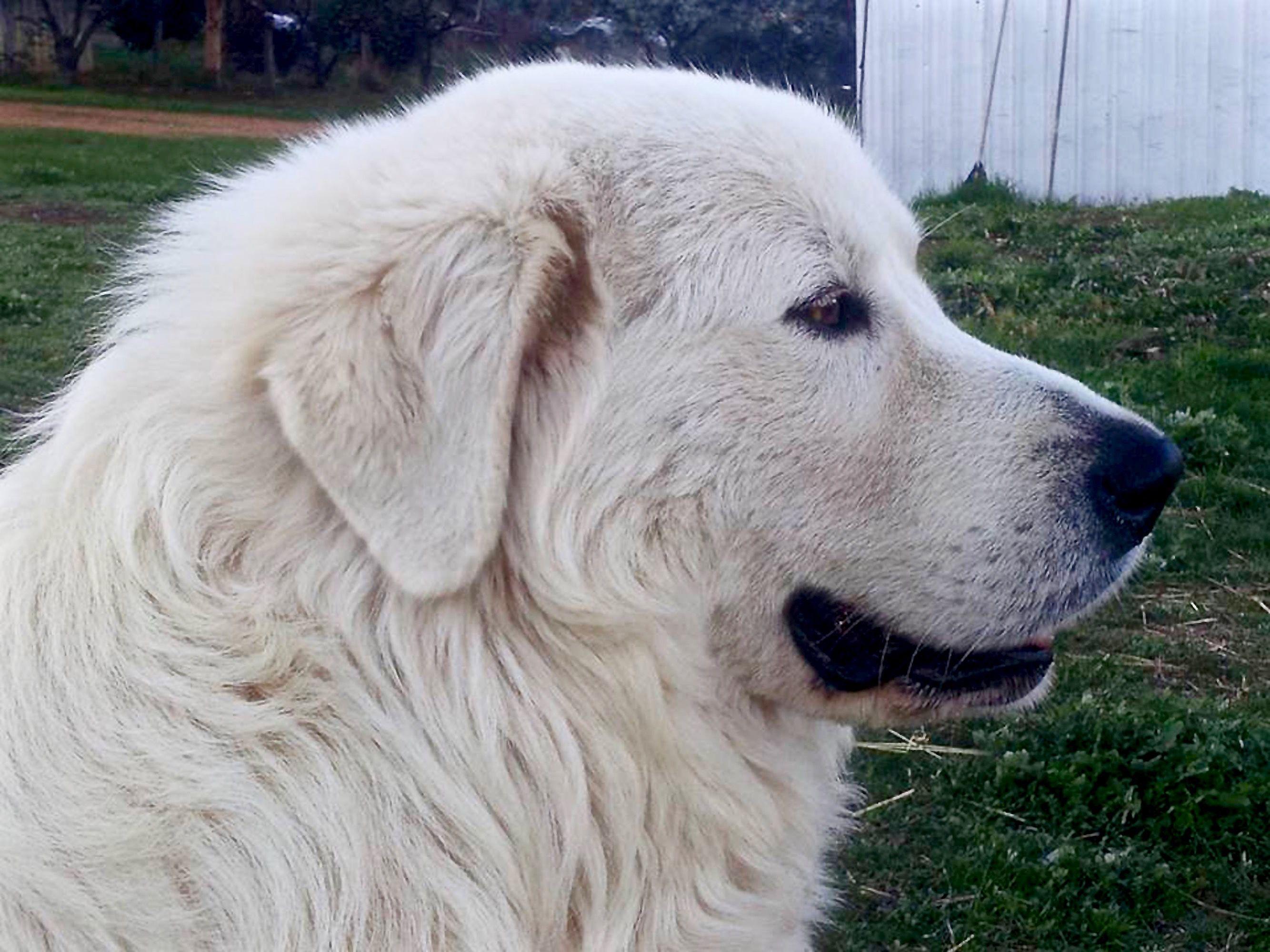 Pastore abruzzese, carattere del cane