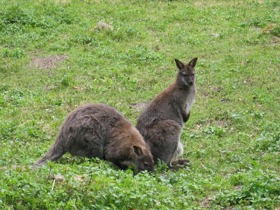 cuccioli canguro