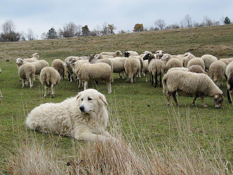 pastore maremmano