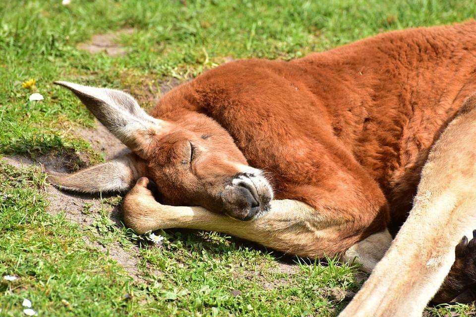 Piano canguro australiano, 1 milione di esemplari uccisi nel 2017