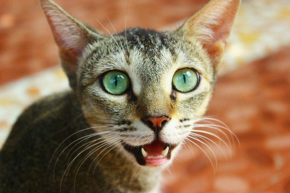 Come capire il linguaggio dei gatti, i loro segnali e gli stati d'animo