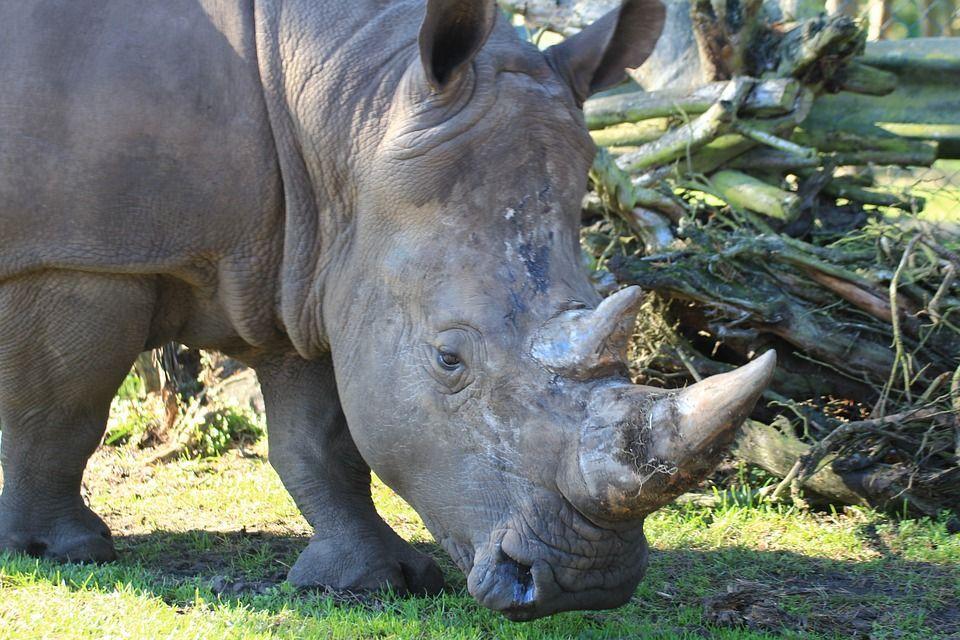 rinoceronte foto repertorio
