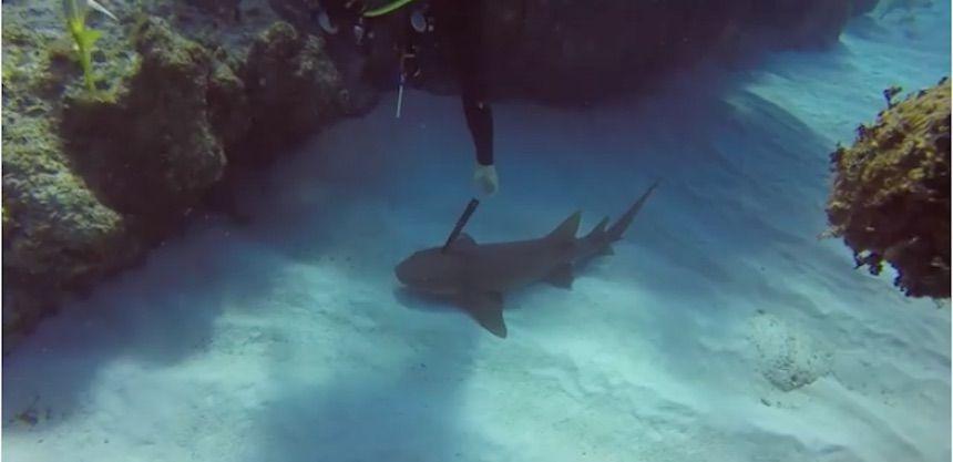 Caraibi, sub salva uno squalo: aveva un coltello conficcato in testa