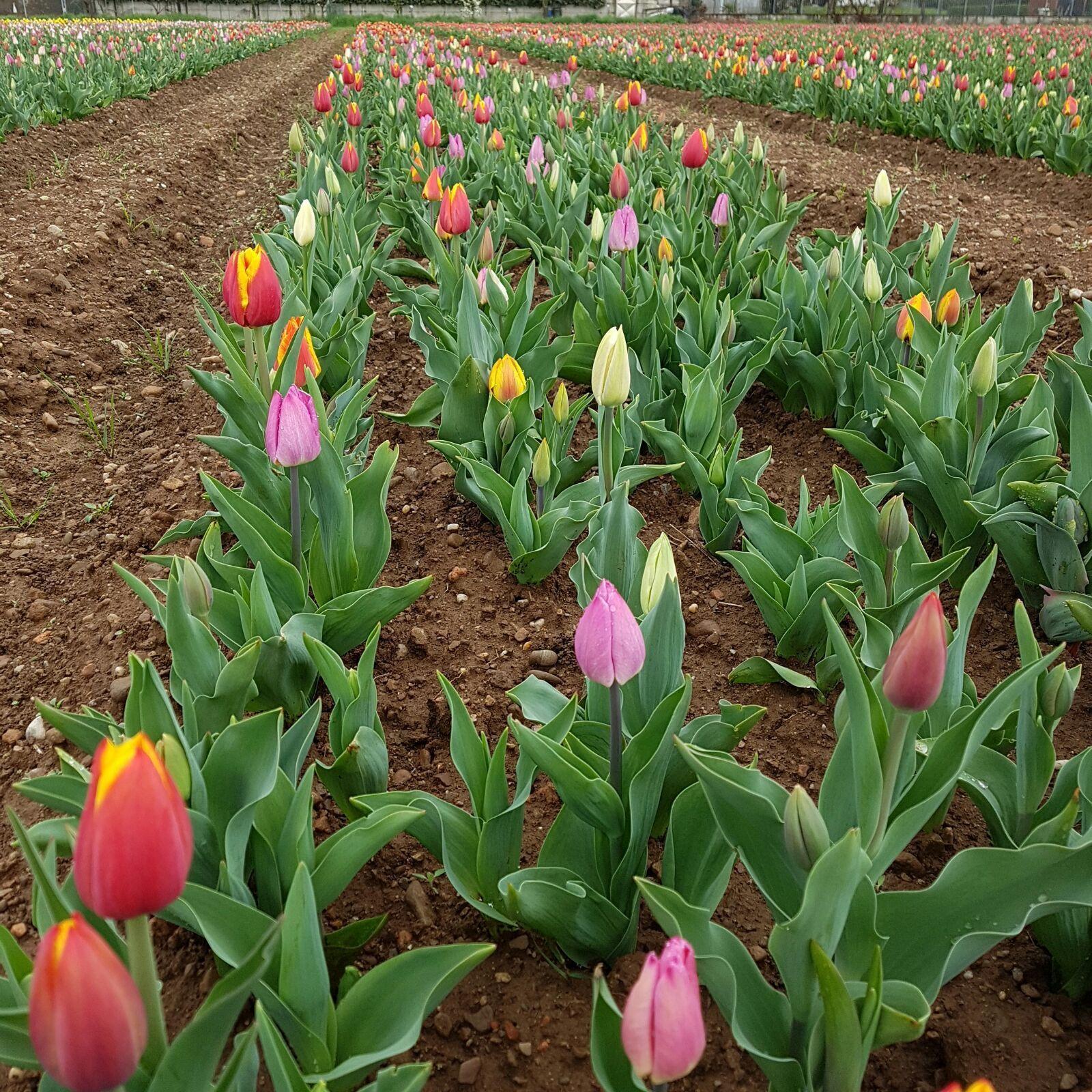 Tulipani a Milano, il campo è in fiore: 250mila fiori sbocciano a Cornaredo