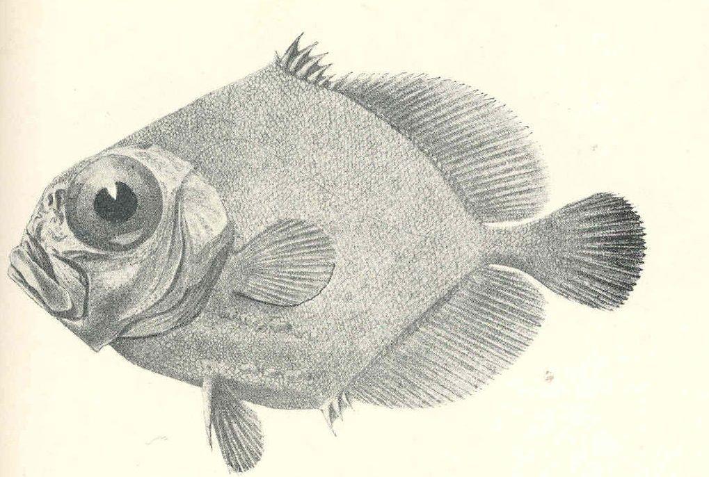 Allocyttus verrucosus