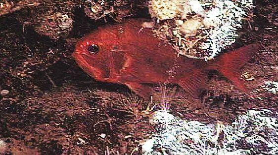 pesce specchio atlantico