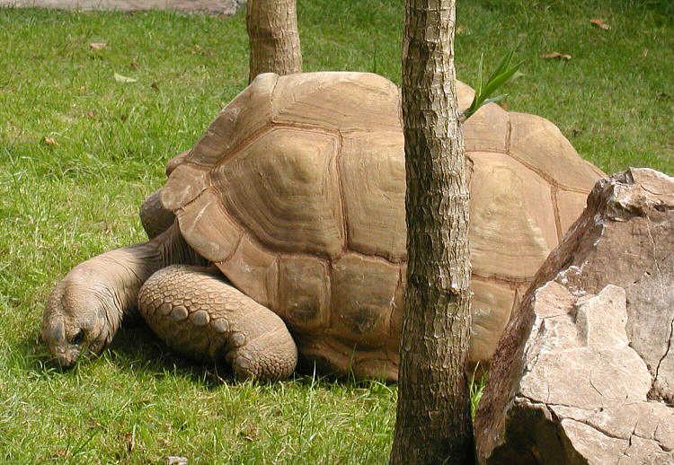Tartaruga gigante di Aldabra