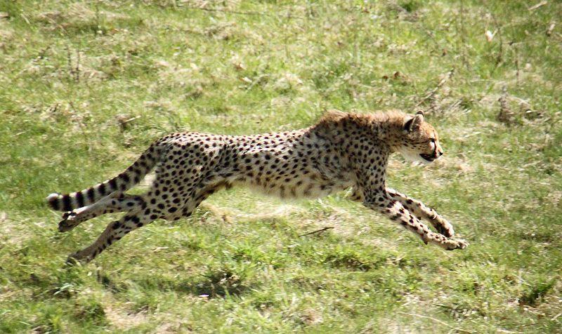 animali piu veloci