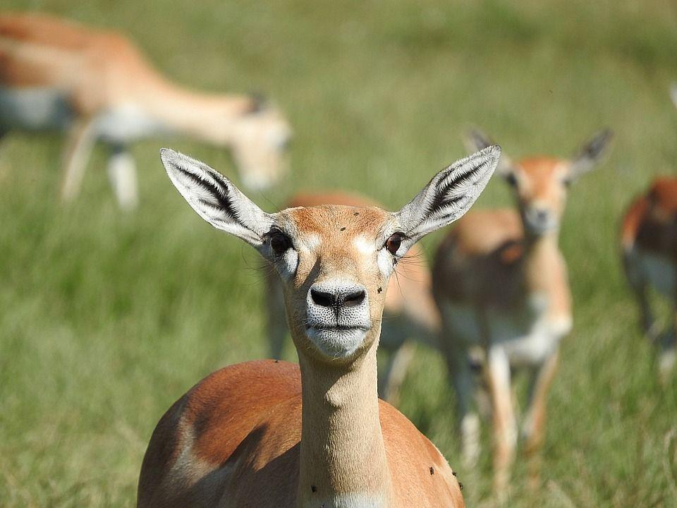 gazzella thompson